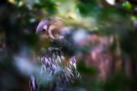Image of a hidden sitting great gray owl with forest in background Stockfoto