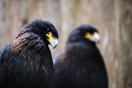 Image of a sitting striated caracara