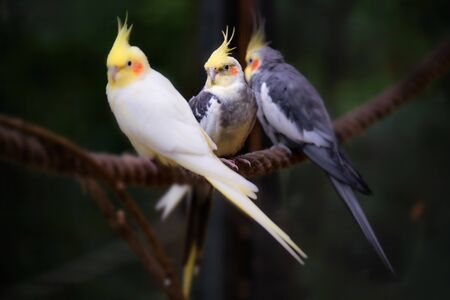 Image of three cockatiel birds sitting on a rope