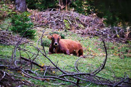 Cow lying in a forest on the mountain Wank in Garmisch-Partenkirchen, Bavaria, Germany
