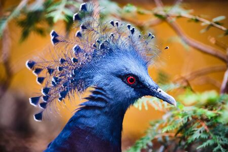 Image of the head of a blue victoria crowned pigeon Stock fotó