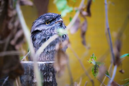 Image of a tawny frogmouth sitting on a stump