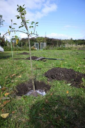 Freshly planted fruit tree on a meadow in Bavaria, Germany