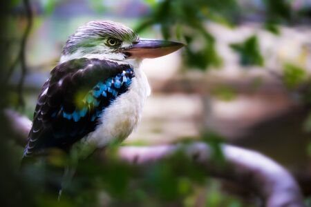 Image of a northern blue-winged kookaburra with blurred background