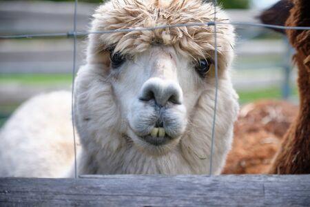 Portrait image of an alpaca in Bavaria, Germany