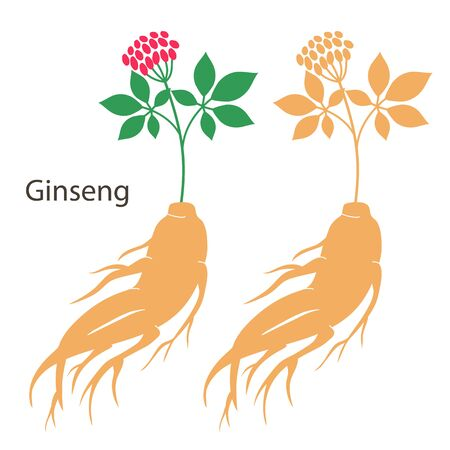 Ginseng root set with leaves and flower isolated on white background. Vector illustration.