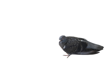 mope: Sick pigeon on white background Stock Photo