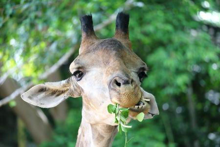 Giraffe in forest eating leaves.