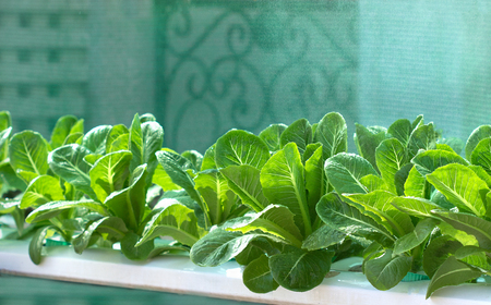 polycarbonate: Growing vegetables,Plants vegetable,Organic vegetable.Selective focus on vegetables