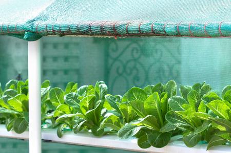 Growing vegetables,Plants vegetable,Organic vegetable.Selective focus on vegetables