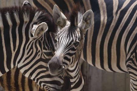 the offspring: Zebra madre con los hijos Foto de archivo