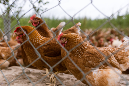 portrait of chicken in a free range poultry organic farming Stock Photo