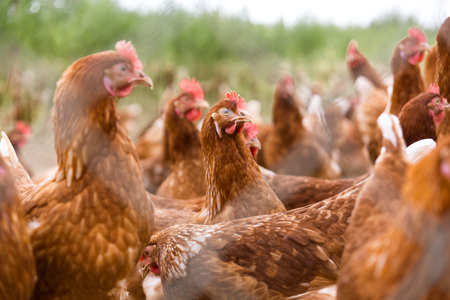 portrait of chicken in a typical free range poultry organic farming
