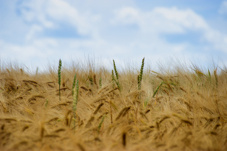 Beautiful view of the field a on a sunny day.Wheat - Close up of a wheat field.Golden Ripe Wheat Field, Sunny Day, Agricultural Landscape, Growing Wheat, Crop Cultivate, Stock Photo