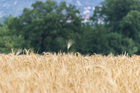 Beautiful view of the field a on a sunny day.Wheat - Close up of a wheat field.Golden Ripe Wheat Field, Stock Photo