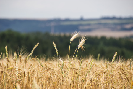 mellowness: Beautiful view of the field and the blue sky on a sunny day Beautiful view of the field a on a sunny day. Wheat - Close up of a wheat field.Golden Ripe Wheat Field, Sunny Day, Agricultural Landscape, Growing Wheat, Crop Cultivate,