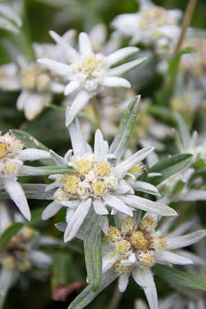 Edelweiss Alpine or Leontopodium ( lat. Leontopodium ). Blooming Bush of Edelweiss in the flower bed of a suburban area.A close up of the flowers edelweiss (Leontopodium pallibinianum).
