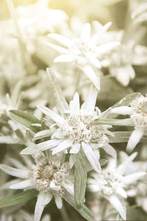 Edelweiss Alpine or Leontopodium ( lat. Leontopodium ). Blooming Bush of Edelweiss in the flower bed of a suburban area.A close up of the flowers edelweiss (Leontopodium pallibinianum). Stock Photo