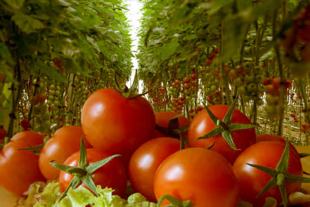 Rows of tomato hydroponic plants in greenhouse. Red tomatoes fresh on the tree, organic for good health. Red and green tomatoes ripening on the bush in a greenhouse of transparent polycarbonate.