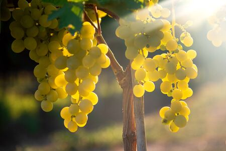 White grapes hanging in vineyard with sunbeam shining through. Stock Photo