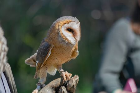 Barn owl sitting on glove during show. Training birds concept. Stock Photo
