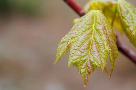 Emerging Maple Leaf