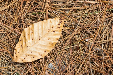 Brown Leaf on Pine Needles Stock Photo - 13570202