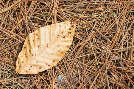 Brown Leaf on Pine Needles Stock Photo - 13570202