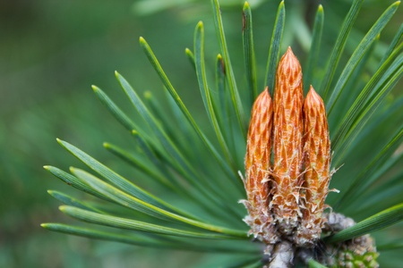 Emerging Growth on Pine Tree Stock Photo - 13570199