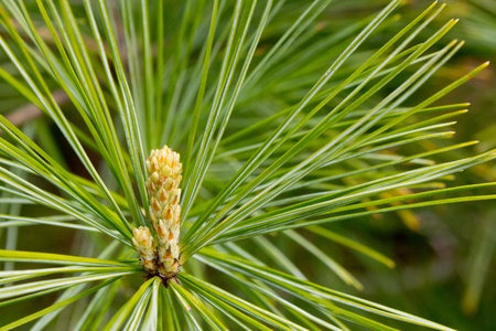 pine: Emerging Growth on Pine Tree Stock Photo