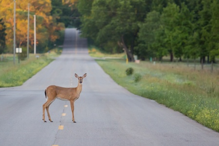cross roads: Deer in Middle of Road Stock Photo