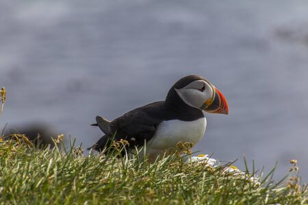 A puffin is sitting in the meadow at Látrabjarg a coast of the Westfjords in Iceland Stockfoto