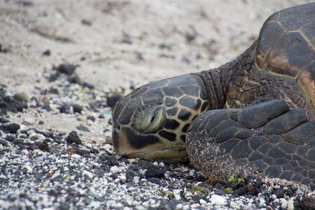 A sea turtle lies with its head on a black sandy beach. Photo taken near Kona on Big Island, Hawaii, USA
