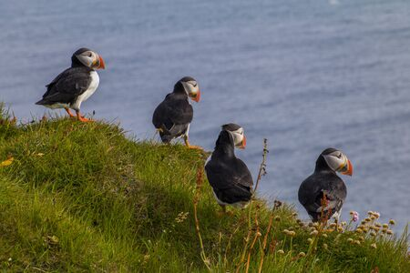 A group of puffins are sitting in the meadow at Látrabjarg a coast of the Westfjords in Iceland Stockfoto