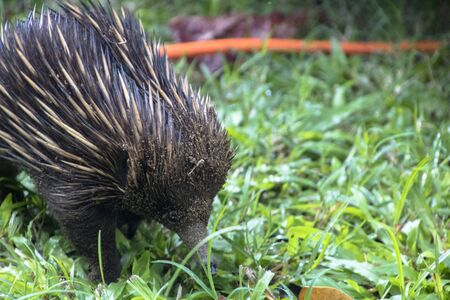An Echidna wanders over the Etty Bay campsite in northern Queensland Australia on a rainy day