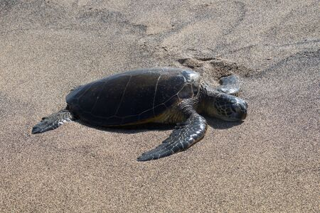 A sea turtle lies with its head on a black sandy beach after it has crawled out of the Pacific. Photo taken near Kona on Big Island, Hawaii, USA 写真素材