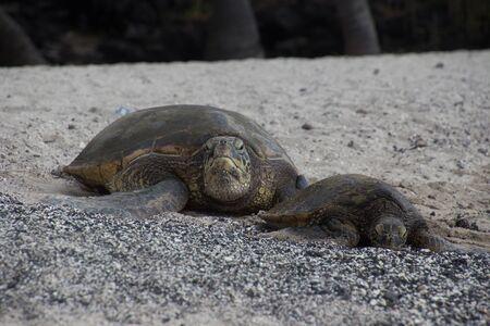 A big and a small sea turtle are lying with their heads on a black sandy beach. Photo taken near Kona on Big Island, Hawaii, USA