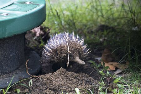 An Echidna looking for ants at a green shat at the Etty Bay campsite in northern Queensland Australia Imagens