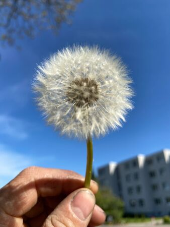 Dandelion seeds in front of a blue sky on a sunny spring morning