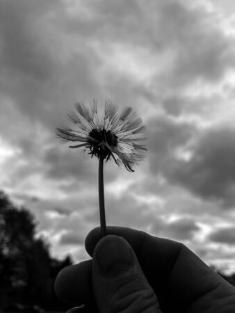 A dandelion in hand Photographed against the sky on a cloudy spring morning Banco de Imagens