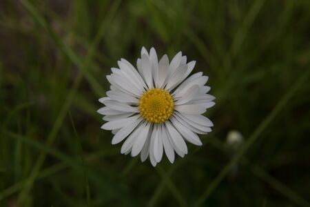 A white daisy with a light pink tinge on the leaf edges in front of a green meadow on a sunny day