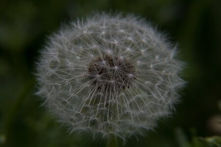 A dandelion with beautiful strands of seeds just before the wind blows away the seeds