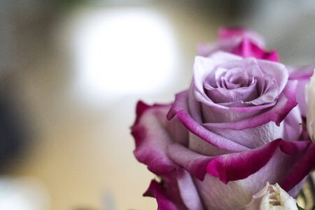 Close-up of a pink rose flower with a blurred background and a white blossom on the side
