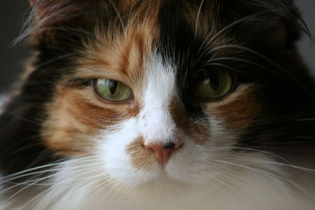calico cat: Angry Calico Cat Stock Photo