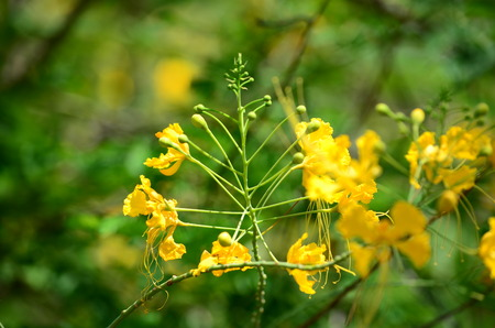 fabales: yellow flower on green forest