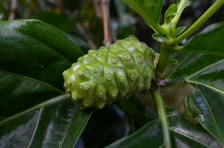 great morinda: great morinda on green  leaf