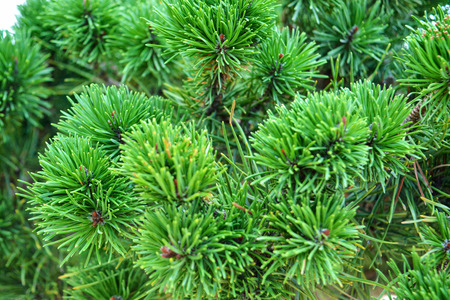 Close up of a green fir tree. Macro shot of a spruce branches Stockfoto