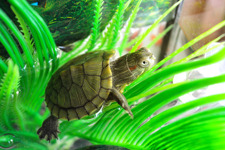 A little red-eared turtle sits on a sheet of algae, the picture is taken in close-up