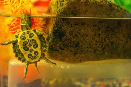 Pontoon in the aquarium, tummy to the glass next to the stone Stockfoto