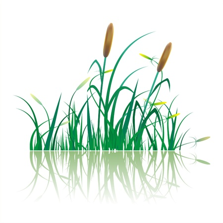 canne a sucre: Gros plan de plantation de canne � sucre